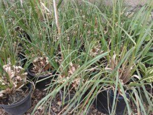 Cortaderia selloana-Ezüstös pampafű ár