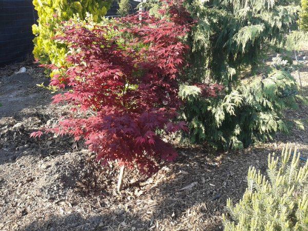Acer palmatum 'Atropurpureum' - Ujjas (japán) juhar