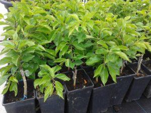 Cudrania tricuspidata - Málnafa porzó