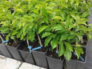 Cudrania tricuspidata - Málnafa eladó termő