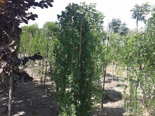 Sophora japonica 'Pendula' - Szomorú japánakác fa