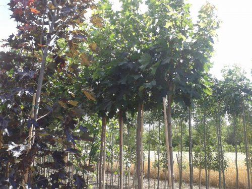 Acer platanoides 'Globosum'- Gömb juharfa kisméretű gömb díszfák kertbe