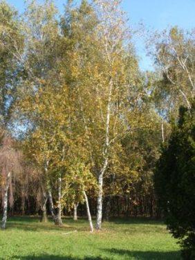 Betula 'Pendula' - Bibircses nyír közönséges fehér törzsű nyírfa csemete eladó Abéliáskert  faiskola Szeged kertészet
