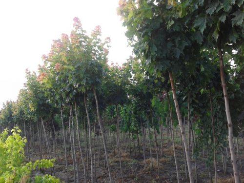 Acer platanoides 'Globosum'- Gömb juharfa