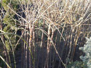 Prunus serrulata 'Kiku-Shidare-Sakura ' - Szomorú japán díszcseresznye