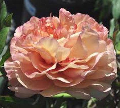 Paeonia Callies Memory - Itoh hybrid  Barack sárga bazsarózsa pünkösdi rózsa