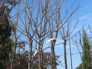 prunus-serrulata-kansan-japan diszcseresznye