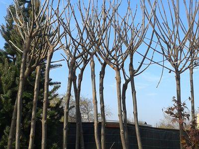 Catalpa bignonioides 'Nana'- Gömb szivarfa  díszfa elado szeged