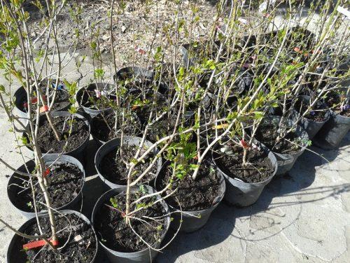 Punica granatum 'Üzbég' - Termő gránátalma fajták Abéliáskert faiskola Szeged kertészet