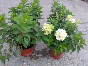 Hydrangea paniculata Mojito bugás hortenzia eladó Abéliáskert faiskola Szeged kertészet
