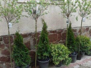 Salix integra 'Hakuro Nishiki' – Magastörzsű Japánfűz díszfa elado Szeged kertészet Abéliáskert