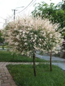 Salix integra 'Hakuro Nishiki' – Japánfűz
