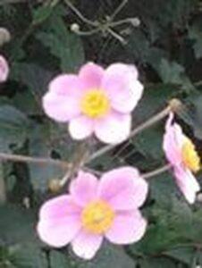 Anemone x Hybrida Serenade  - Hibrid  kiínai szellőrózsa