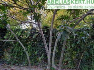 Ficus carica Verdino- Termő füge bokor fügefa ára