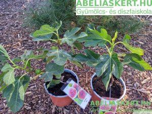 Ficus carica Verdino - Termő fügefa ára