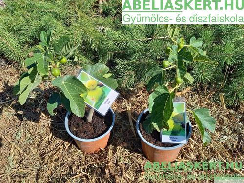 Ficus carica Dottato - Termő füge bokor legjobb fügefa eladó