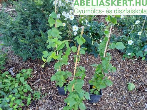 Rubus 'Tayberry Buckingham' - Tüske nélküli szedermálna