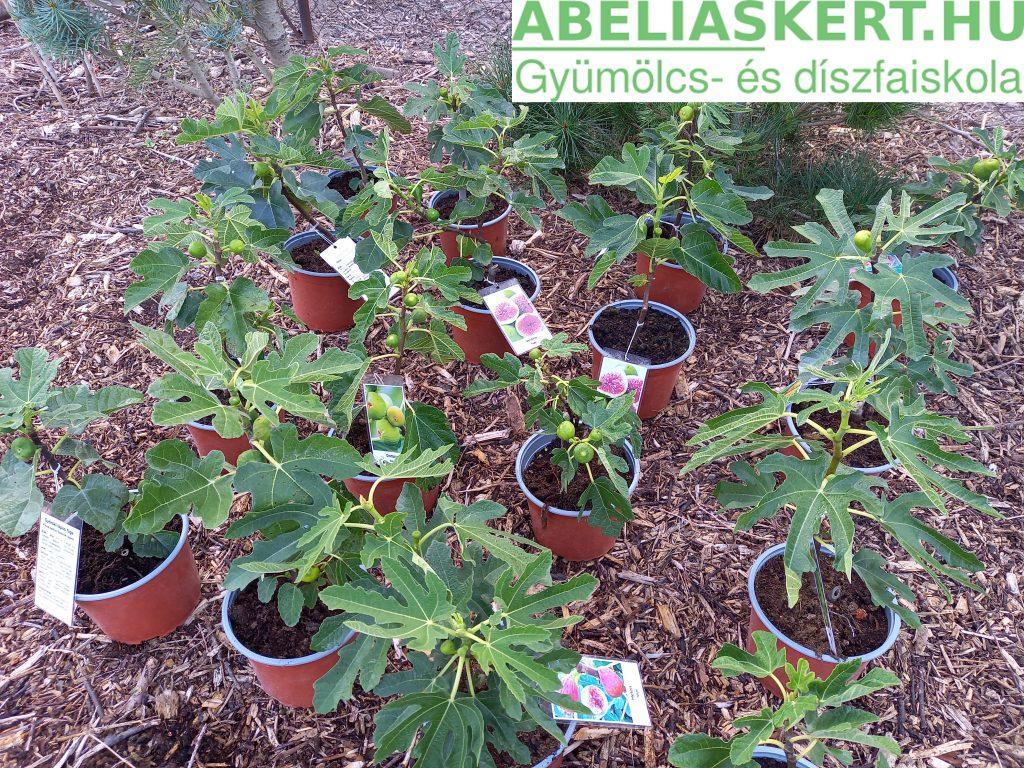 Ficus carica ' Brunswick' - Termő  közönséges fügefa ár