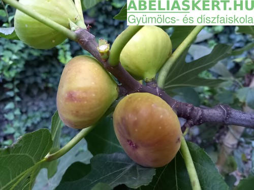 Ficus carica Török Barna'- Termő füge fügefa csemete eladó