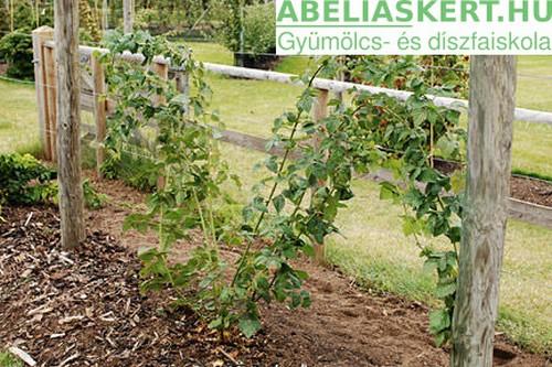 Rubus 'Tayberry Buckingham'-Tüske nélküli szedermálna