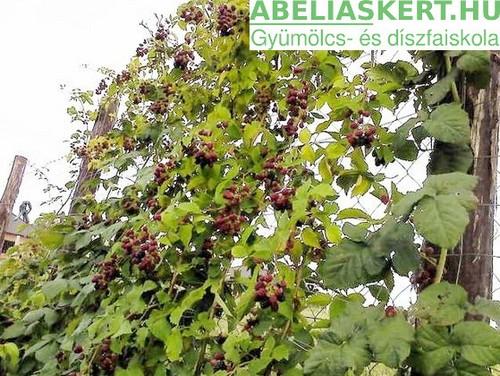Rubus fruticosus 'Navaho' - Tüskétlen-feketeszeder
