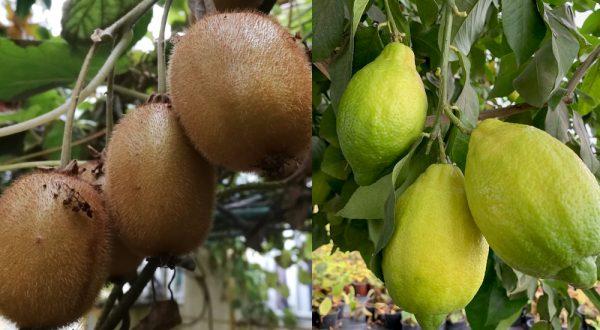 Kivi, citromfa