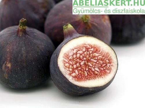 Ficus carica 'Early Violet' - Korai lila füge fügefa vásárlás