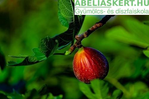 Ficus carica Török Barna - Termő füge fügefa csemete eladó