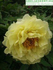 sárga paeonia eonia 'Bartzella' - Itoh hybrid bazsarózsa, pünkösdi rózsa