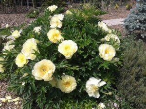 sárga peonia Bartzella'- Itoh hybrid bazsarózsa, pünkösdi rózsa