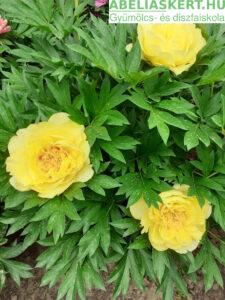 sárga peonia 'Bartzella' - Itoh hybrid bazsarózsa, pünkösdi rózsa