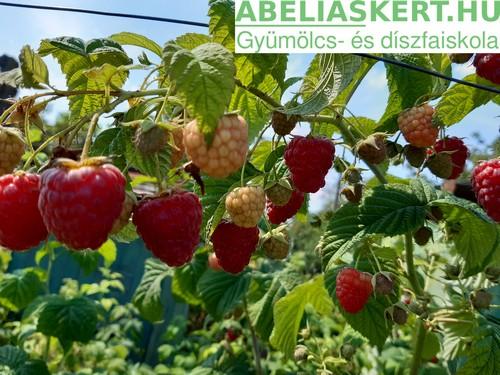 sugana malna Rubus idaeus 'Sugana' – Sugana kétszer (folyton) termő málna