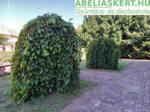 Morus alba Pendula - Csüngő eperfa szomorú eperfa