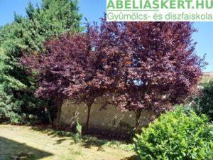 Prunus cerasifera Nigra - Vörös levelű vérszilva dísszilva fa