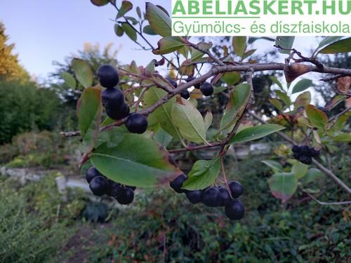 Aronia melanocarpa 'Viking' és 'Hugin' - Fekete berkenye