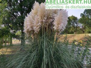 Cortaderia selloana Pumila-Ezüstös pampafű ár