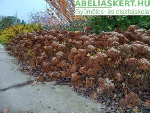 Hydrangea arborescens 'Annabell' - Annabell cserjés hortenzia