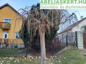 Morus alba Pendula - Csüngő eperfa (szomorú eperfa)