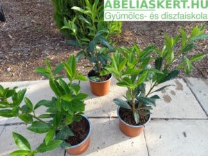 babérmeggy sövény Prunus laurocerasus 'Caucasia' - Kaukázusi babérmeggy sövény