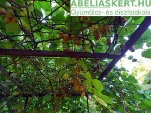 Actinidia chinensis Hayward - Télálló termő kivi ültetés csemete eladó