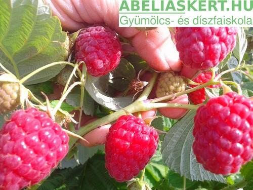 sugana málna Rubus idaeus 'Sugana' – Sugana kétszer (folyton) termő málna