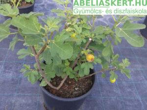Ficus carica Mary Lane - Fügefa előnevelt