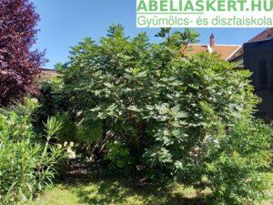 Ficus carica Dalmát- Termő füge cserépben