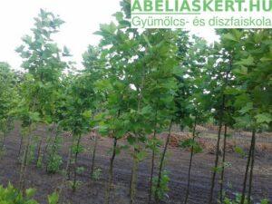 Platanus acerifolia – Közönséges platán fa