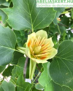 Liriodendron tulipifera 'Aureomarginata' - Aranytarka valódi tulipánfa