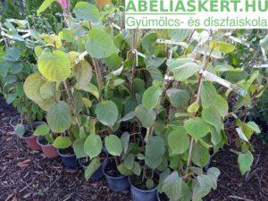 Actinidia chinensis Hayward- Télálló termő kivi növény