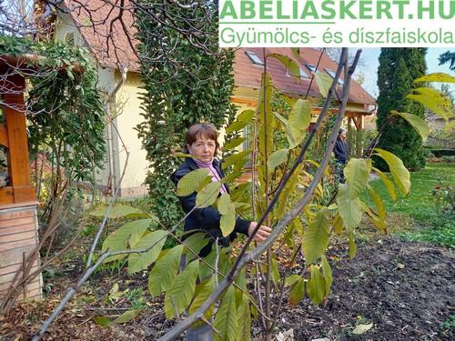Asiminia triloba - Papau (pawpaw, indián banán, annónacserje paw paw csemete