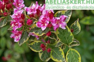 Weigela florida Brigela - Rózsalonc
