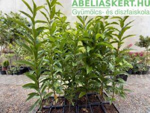 Castanea sativa + mollissima + crenata magcsemeték - Eurázsiai hibrid szelídgesztenye magcsemeték