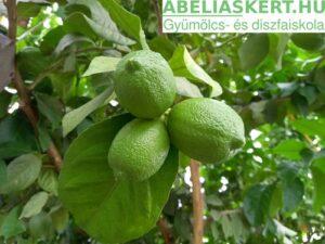 Citrus limon-Termő citromfa eladó